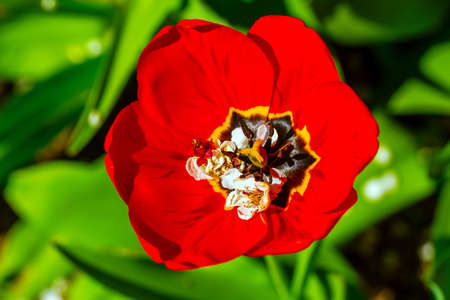 Tulip flower head closeup on green background