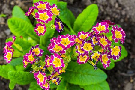 Phlox subulata flowers close up