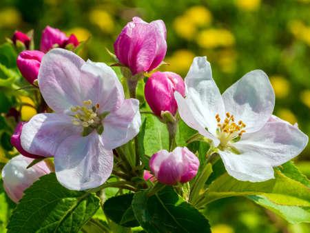 Apple tree flowers close up