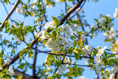 Landscape of sweet cherry blossoming branches and bee Stok Fotoğraf