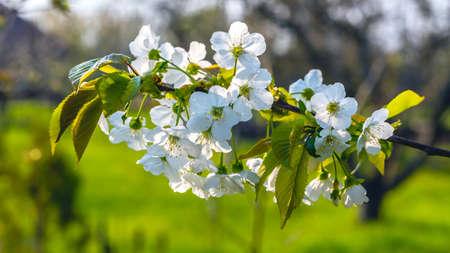 Sweet cherry flowering branch closeup