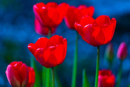 Tulip flowers closeup on dark blue background
