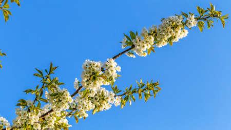 Flowering cherry branch on blue sky background Stok Fotoğraf