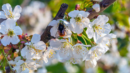Blossoming branch of sweet cherry and bumblebee