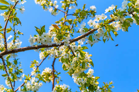 Landscape of sweet cherry flowering branches and honeybee