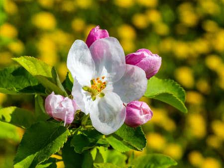 Apple tree flower and buds closeup