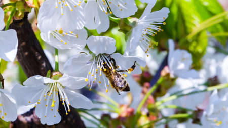 Cherry flowers and bee closeup