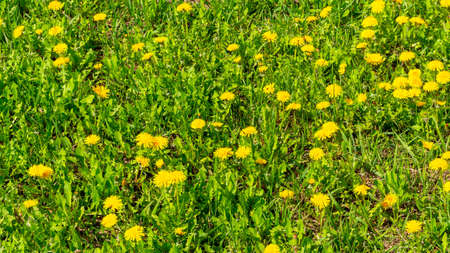 Nature background with dandelion flowers Stok Fotoğraf