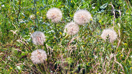 Grass background with mature tragopogon flowers