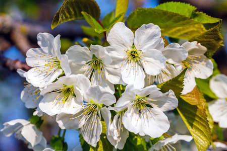 Sweet cherry flowers closeup view
