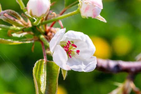 Pear tree flowers closeup view