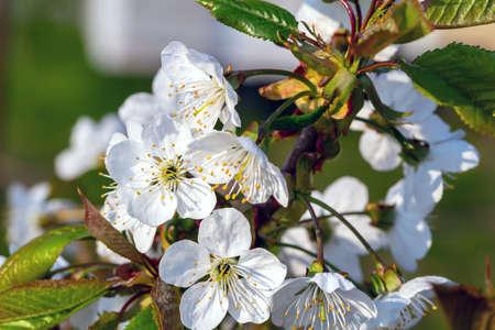Sweet cherry blossom closeup view