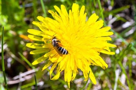 Dandelion flower head with bee closeup Stok Fotoğraf