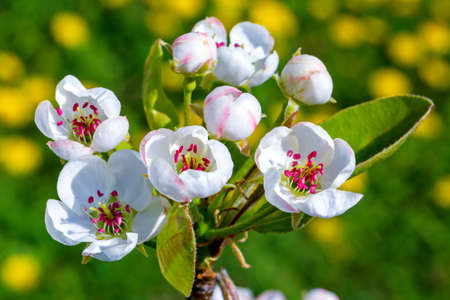 Pear tree branch with flowers closeup