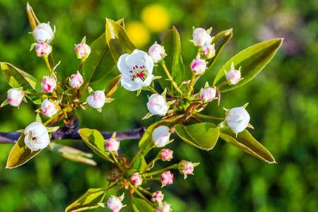 Pear tree blossom closeup view