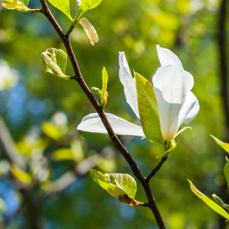 Magnolia branch and flower closeup