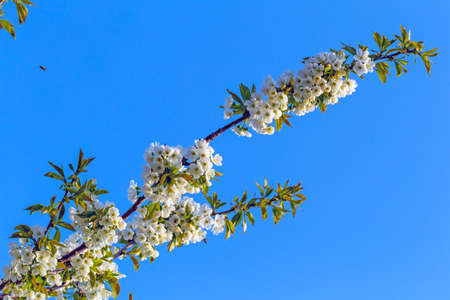 Cherry blossom branch on blue sky background Stok Fotoğraf