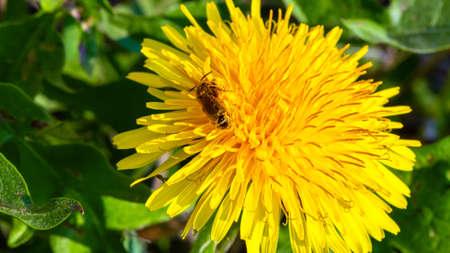 Dandelion flower head with honeybee closeup Stok Fotoğraf