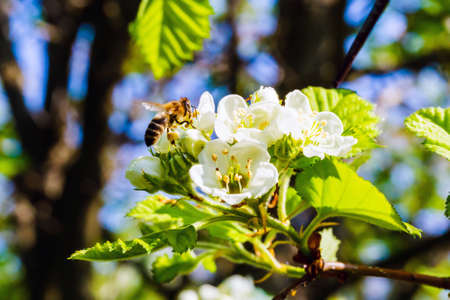 Branch with flowers and honeybee closeup