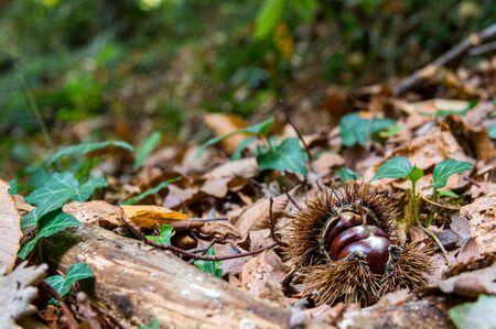 Chestnut in the Garrotxa forest, Catalonia, Spain