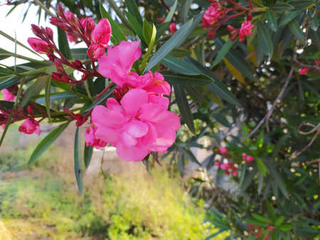 Double pink Oleander, popular cultivar. Blooming, evergreen, small hardy shrub with rose-pink showy flowers. Nerium splendens Oleander most poisonous garden plant. Apocynaceae family, Wrightieae tribe