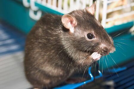 mother rat Stock Photo