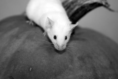 white mouse Stock Photo - 3049183