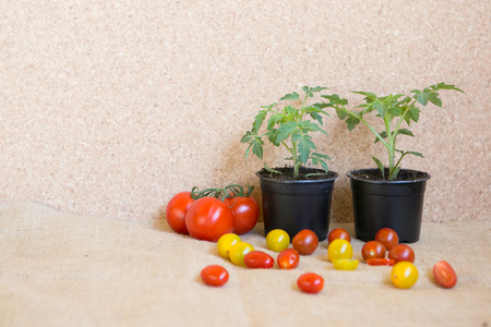 fresh tomato plant and fresh tomatoes: before and after