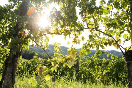 Summer hike in vineyards of Goriška Brda, Slovenia Archivio Fotografico