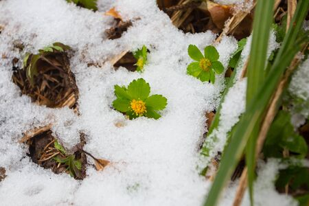 First wild flowers covered with snow. Late snow in March