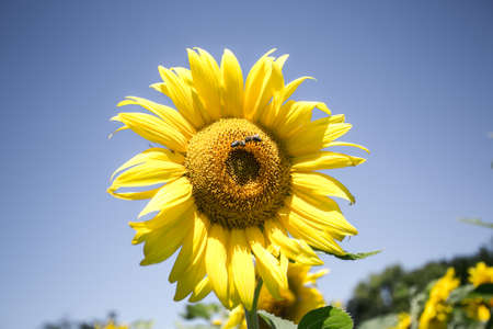 Sunflower on the background of pure blue sky; on the sun