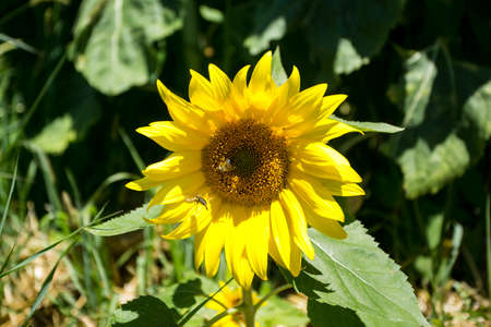 It brings joy to see sunflower field by the road; photos with yellow energy on the sunflower field 写真素材