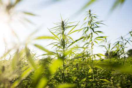 Field of industrial hemp (cannabis) in the evening sun. Legally planted on the field