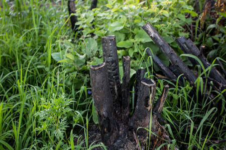 Burned trunk in the green grass Archivio Fotografico