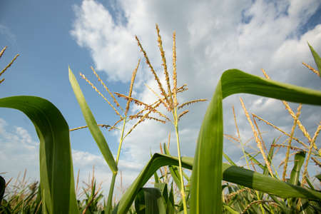 Green Corn on the Field