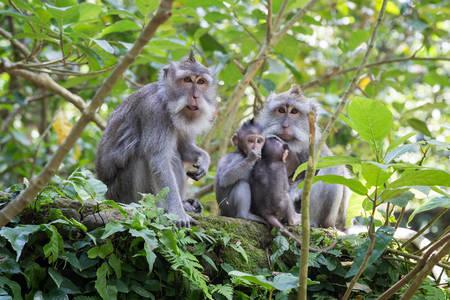ubud: Family of monkeys with babies in Ubud Sacred Monkey Forest