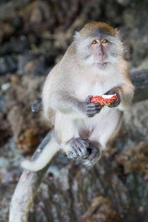 Monkeys eating fruits on Monkey Beach, Phi Phi Don island Stock Photo