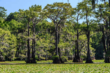 bayou swamp: Cypress trees and Lily flowers at Caddo Lake, Texas