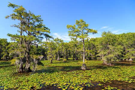 カドー湖、テキサス州でのヒノキの木