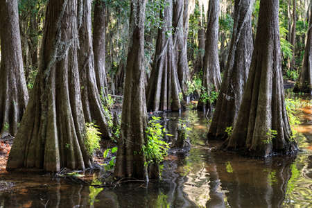 Roots of Cypress trees at Caddo Lake, Texas