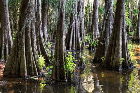 bayou swamp: Roots of Cypress trees at Caddo Lake, Texas