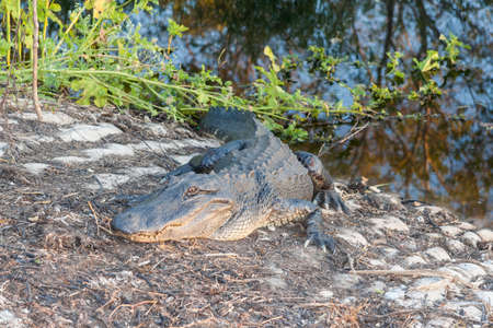 reckless: Hungry Alligator waits for reckless tourists in Brazos Bend State Park near Houston, Texas Stock Photo