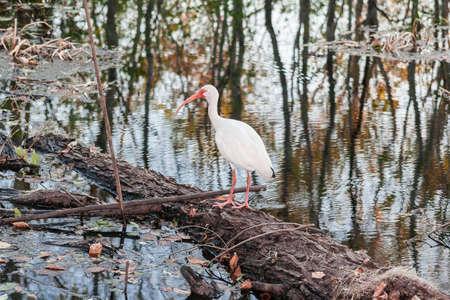 red beak: White bird with long red beak in Brazos Bend State Park near Houston, Texas