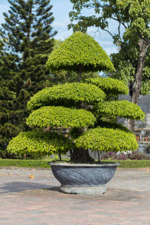 dynasty: Tree in Imperial Royal Palace of Nguyen dynasty in Hue