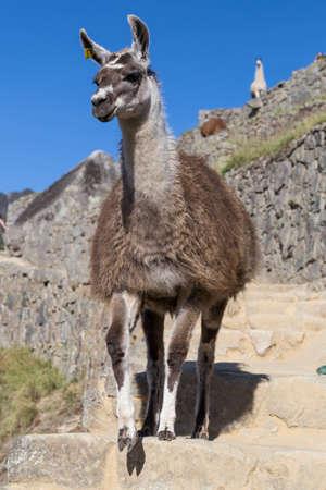 down stairs: Llama caminando por las escaleras en Machu Picchu, Cordillera de los Andes, Perú