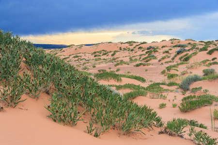 desert vegetation: Green desert vegetation in Coral Pink Sand Dunes State Park in Utah at sunset