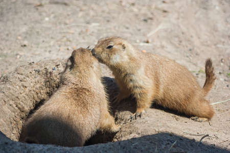cape ground squirrel: Two ground squirrels also known as Spermophilus are sniffing each other