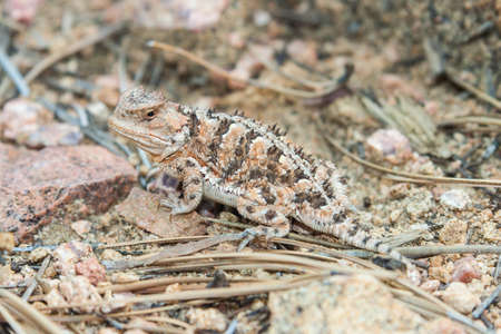 horned frog: Horned lizard also known as horny toad or frog in natural habitat