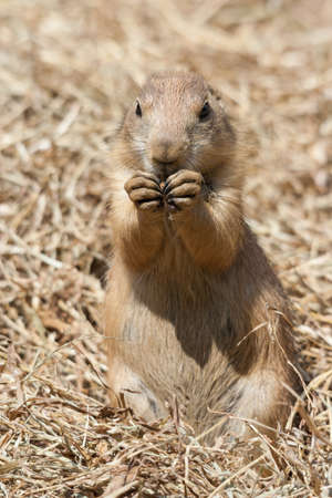 cape ground squirrel: Ground squirrel also known as Spermophilus in its natural habitat