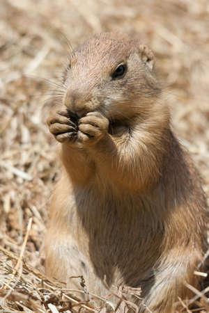 cape ground squirrel: Ground squirrel also known as Spermophilus in its natural habitat